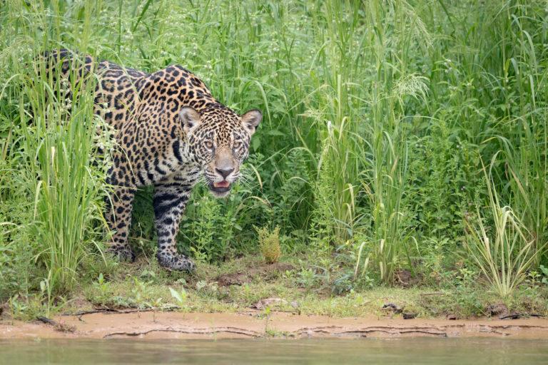 Desde niño, Esteban Payán sintió fascinación por los felinos grandes como el jaguar. Foto: Richard Barrett / WWF.