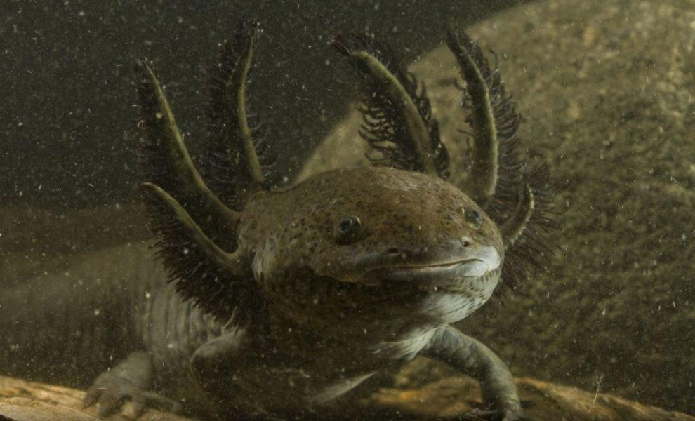 El ajolote está catalogado en peligro de extinción por la Norma Oficial Mexicana 059-ECOL-2010. Foto de CONABIO