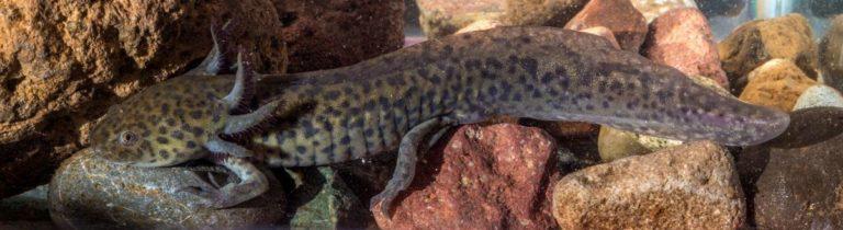 El Ajolote es una especie paraguas debido a que su protección beneficia a otras especies y al ecosistema en general. Foto de CONABIO