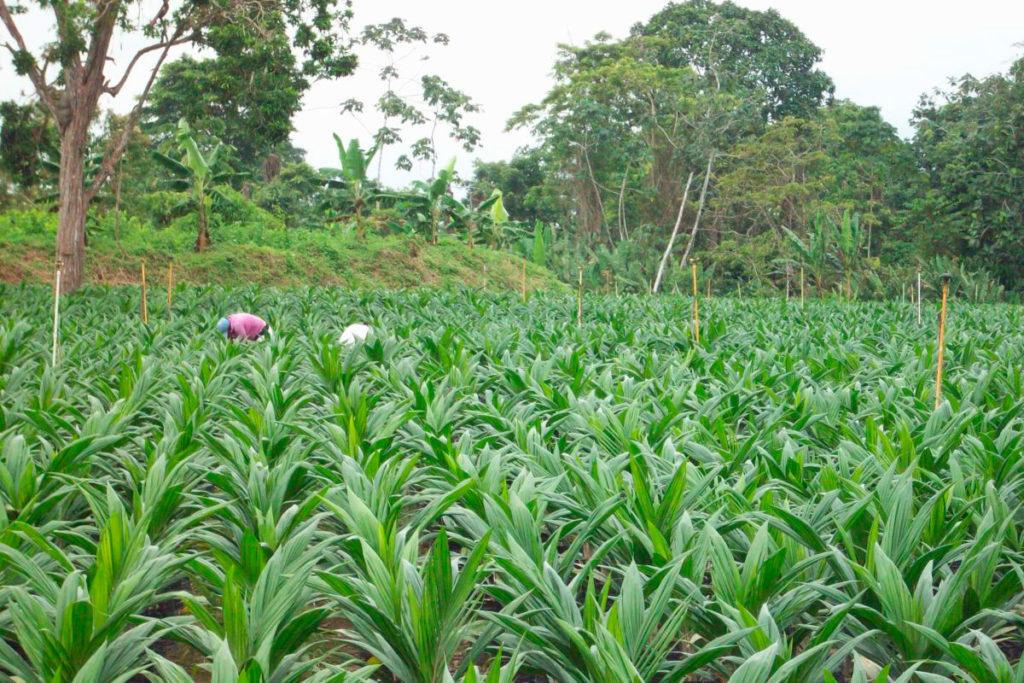 Palmeros con capitales de dudosa procedencia devastaron la biodiversidad de una rica zona del departamento de Chocó y causaron desplazamiento. Foto: Palmasur