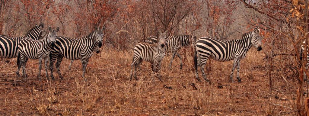 Cebras en Tanzania. Alrededor del 17 % del área estudiada se degradó durante el periodo mencionado, según descubrieron los investigadores. Foto: Rhett A. Butler/Mongabay