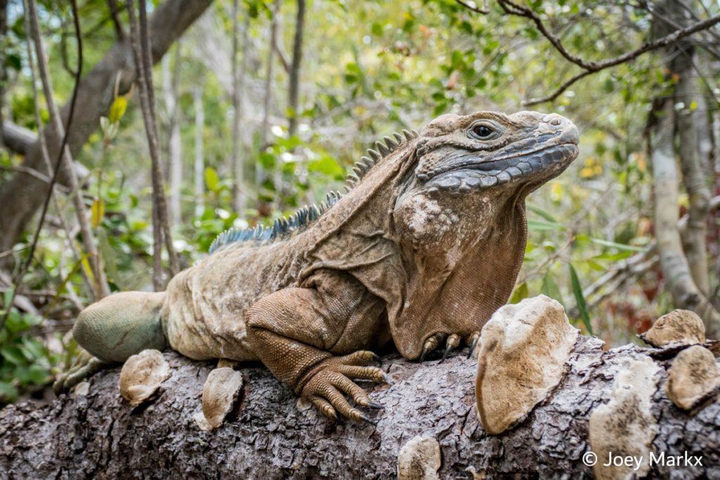 Una iguana de Jamaica (Cyclura collei). Foto: © Joey Markx.
