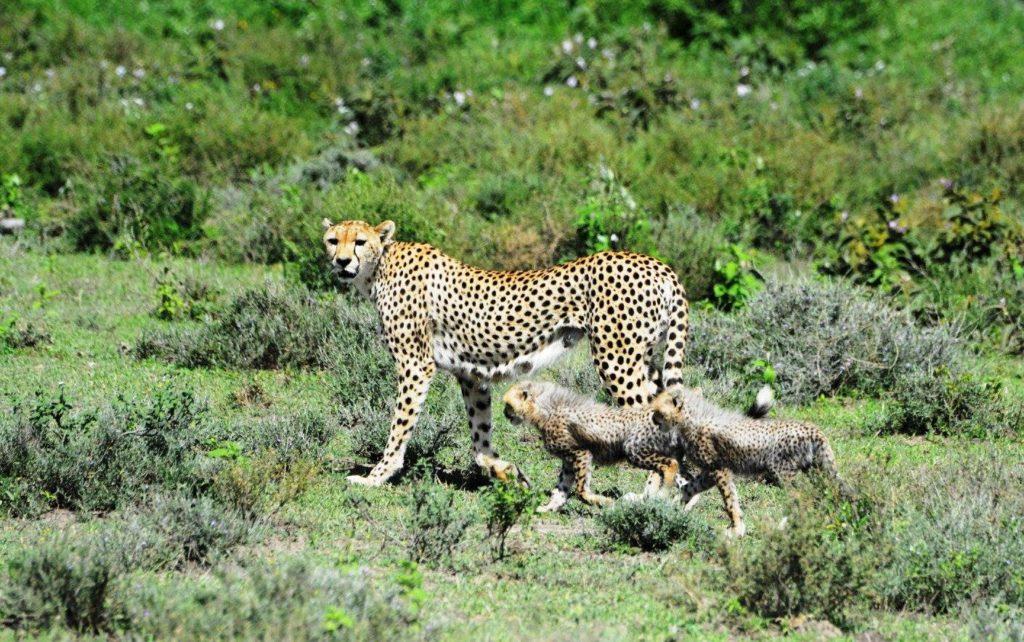 Los guepardos han desaparecido de un 91 % de su rango de distribución. Imagen de Udayan Dasgupta/Mongabay