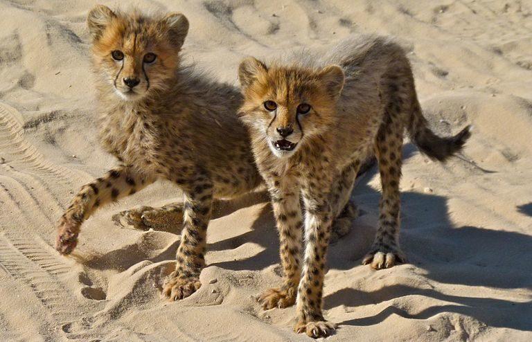 Los cachorros de guepardo que se venden en línea a menudo son robados a las madres en la naturaleza. Imagen de cachorros de guepardo por Bernard DUPONT a través de Wikimedia Commons