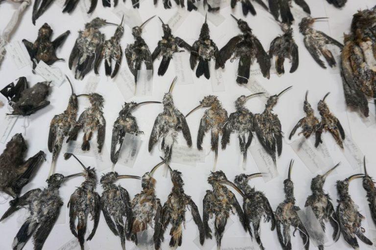 En 2018 se decomisaron aves disecadas que salían de Perú con destino a Rusia. Foto: Serfor.