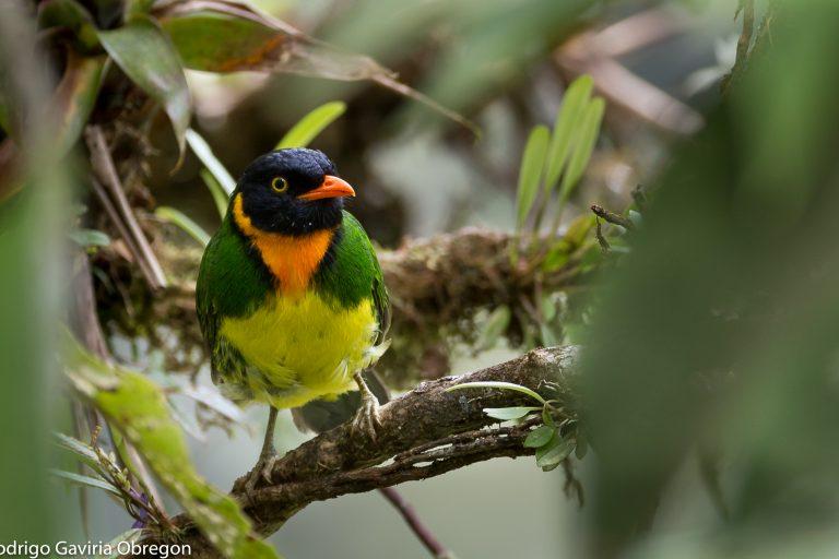 Colombia es el país con mayor cantidad de aves en el mundo. Foto: Rodrigo Gaviria.