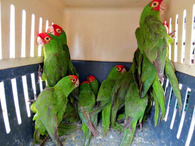 En Perú, entre los años 2000 y 2016 se decomisaron más de 28000 aves. Foto: Serfor.