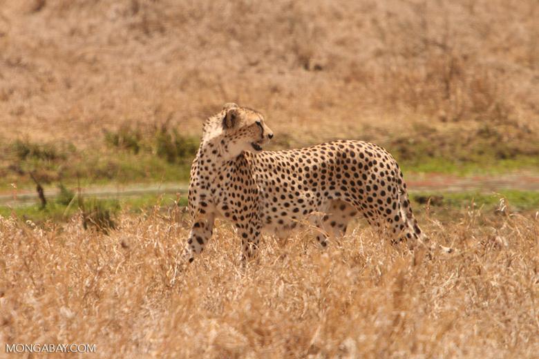 Un guepardo en Tanzania. Este felino alcanza hasta 115 kilómetros por hora en carreras de hasta 500 metros. Es el animal terrestre más veloz. Foto: Rhett A. Butler / Mongabay