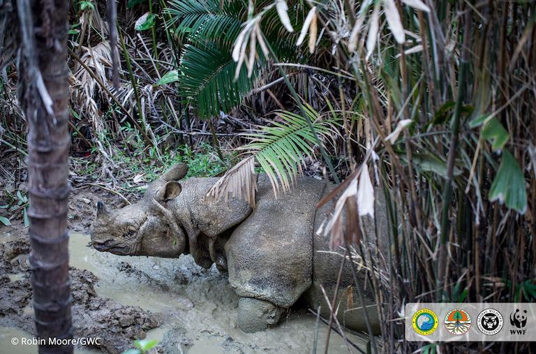 Una rara imagen de un rinoceronte de Java en peligro crítico. Según el último recuento, solo 68 rinocerontes de Java sobreviven actualmente, todos ellos viven en el Parque Nacional Ujung Kulon. Imagen de Robin Moore/Global Wildlife Conservation