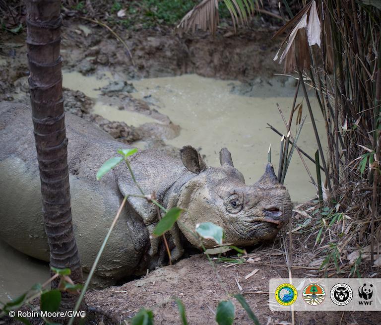 La especie es tan esquiva que los conservacionistas la han estudiado durante años sin verla en persona. Incluso las imágenes son raras. Imagen de Robin Moore/Global Wildlife Conservation