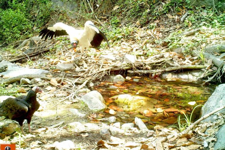 Aves rapaces también han sido registradas por las cámaras trampa en los jagüeyes. Foto: SBC Perú.