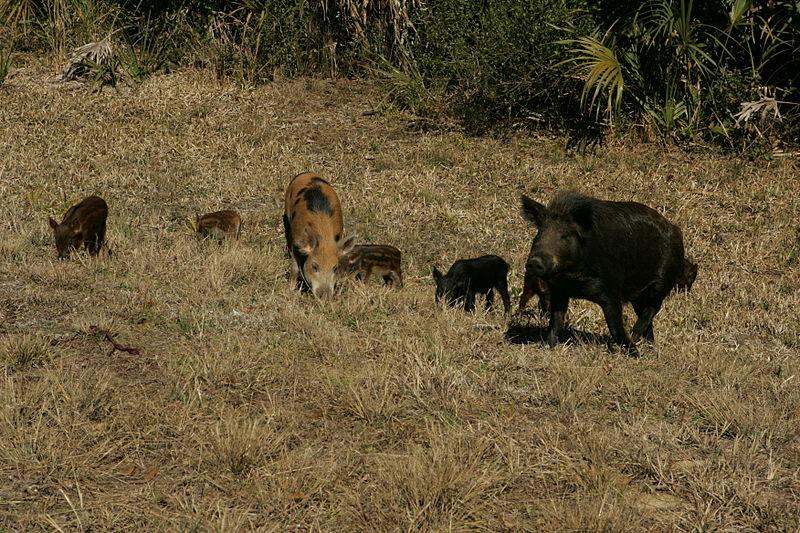 Esta familia de cerdos salvajes puede arrancar una gran cantidad del hábitat de la salamandra. Imagen cortesía del Servicio de Pesca y Fauna Silvestre de los EE. UU.