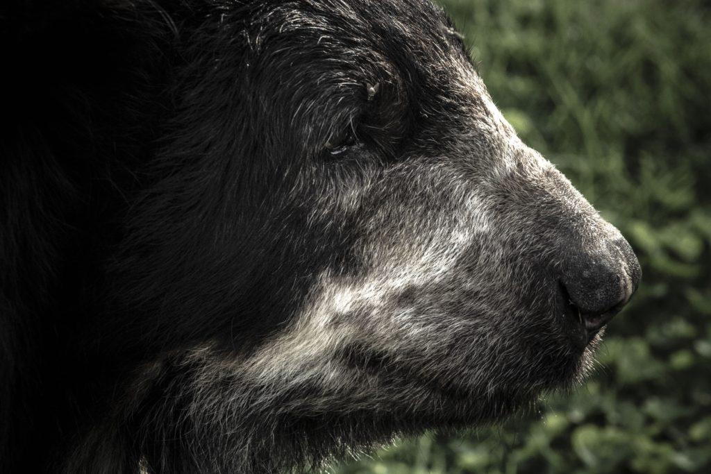 Oso de anteojos. Foto: Fundación Grupo Argos.