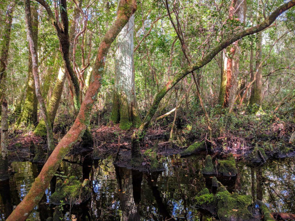 Uno de los pantanos en el bosque nacional de Apalachicola donde todavía se pueden encontrar salamandras pardas del sur. Imagen cortesía de Morgan Erickson-Davis.