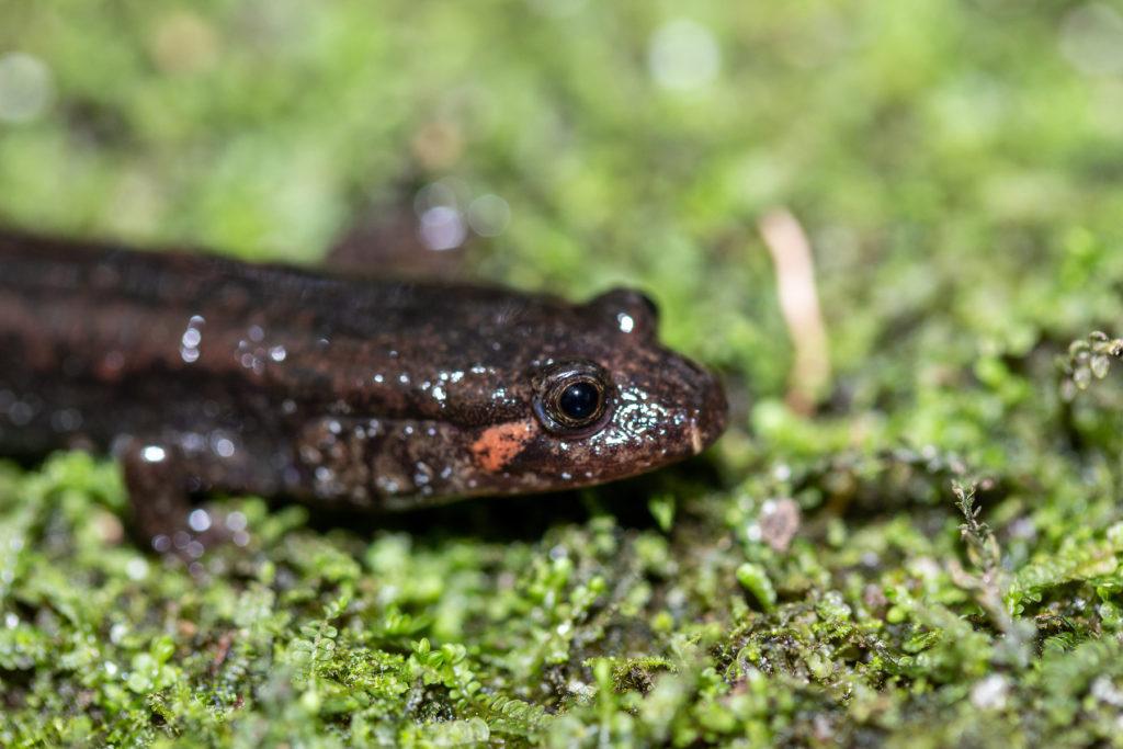 """Una salamandra parda del sur luce su característica """"oreja"""" naranja. Imagen cortesía de Chace Holzheuser."""
