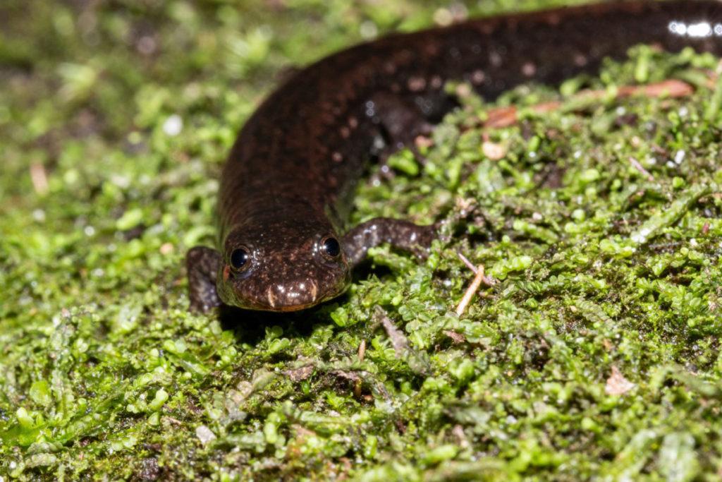 Hoy en día, las salamandras pardas del sur se encuentran en menos del 1 % de sus antiguas áreas de distribución. ¿Qué sucedió? Un grupo de científicos busca la respuesta para evitar la extinción. Foto: Chace Holzheuser.