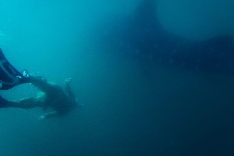 El tiburón ballena es un animal solitario y que cuando se agregan lo hacen por sexo o por edad. Foto: Ecoceánica