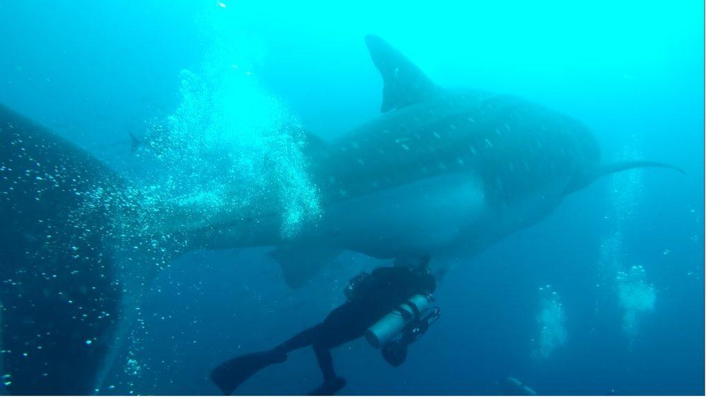 Es posible que las costas del Perú y de Ecuador sean zonas de nacimiento de tiburones ballena. Foto: Reserva Marina Galápagos