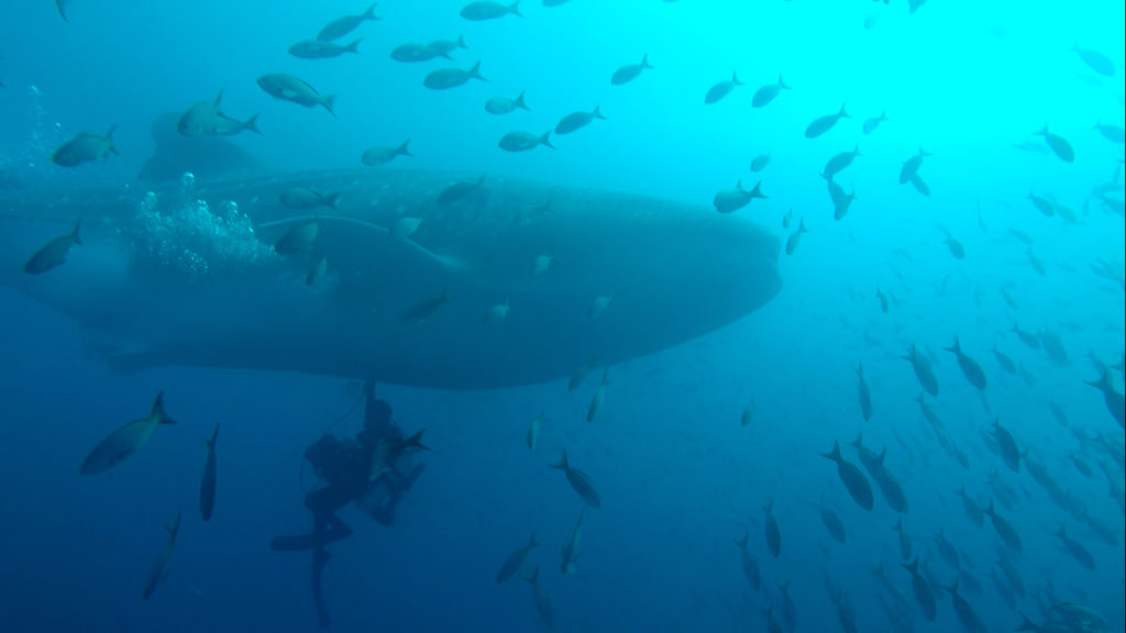 El tiburón ballena es una especie que está en peligro a nivel mundial. Más de 75 % de su población se ha visto reducida. Foto: Reserva Marina Galápagos