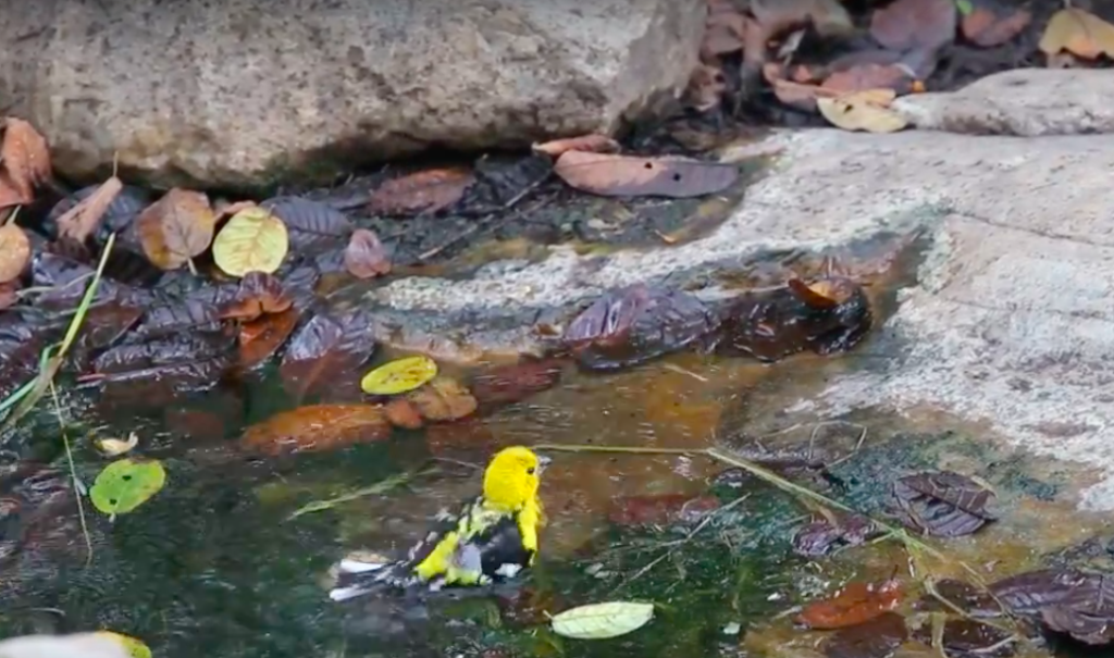 En los jagüeyes de los bosques secos se observaron 35 especies diferentes de aves. Foto: SBC Perú.
