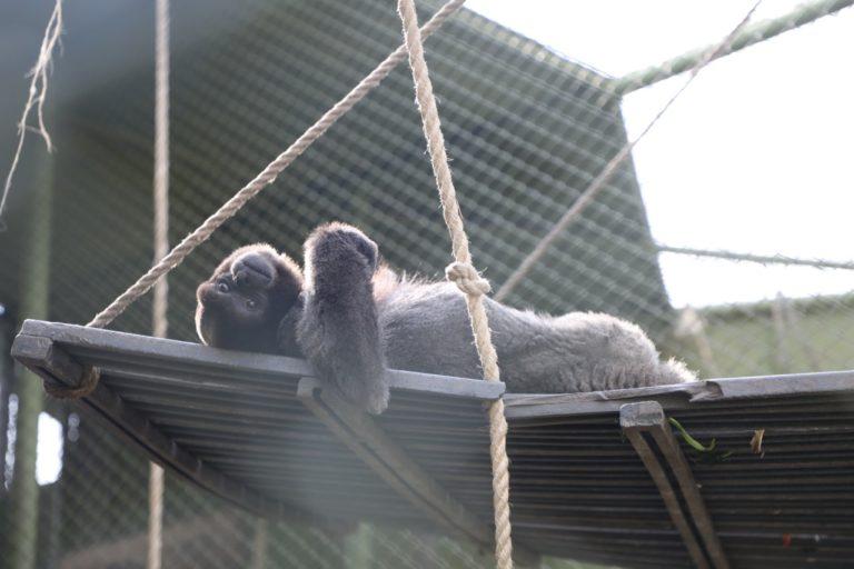 El proceso de humanización al que someten a los primates hace que sea más difícil que se adapten nuevamente a la vida silvestre. Foto: Instituto Distrital de Protección y Bienestar Animal.