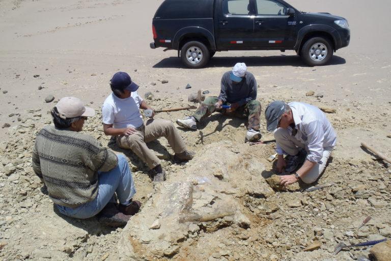 Foto de la excavación del esqueleto de Peregocetus, en Playa Media Luna. Foto: G. Bianucci.