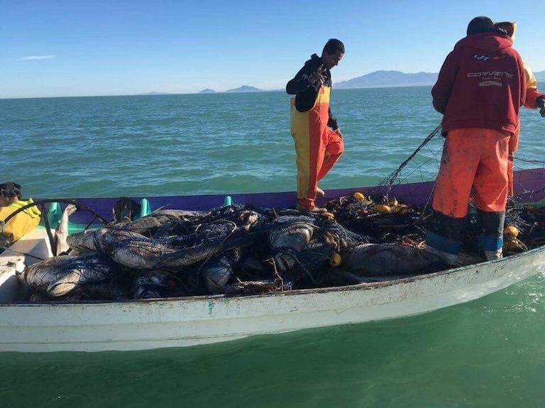 Pescadores con totoabas pescadas ilegalmente. Imagen cortesía de Elephant Action League
