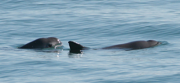 Los científicos creen que no más de 22 vaquitas aún viven en el Mar de Cortés. Imagen de Paula Olson/NOAA a través de Wikimedia Commons (dominio público)