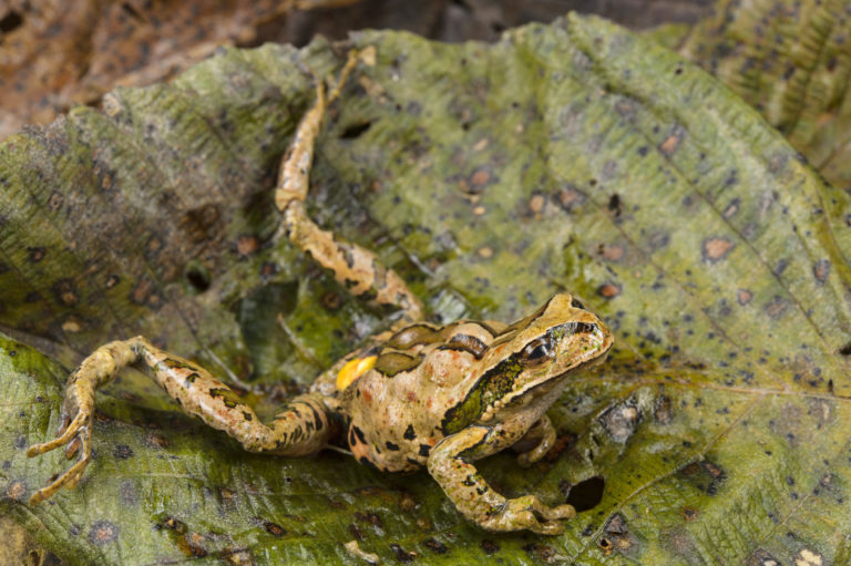 Una rana de la especie Gastrotheca excubitor en los Andes sufre un paro cardiaco debido a la presencia del hongo en su organismo. Foto: Alessandro Catenazzi.