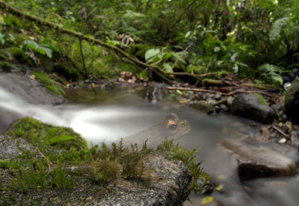 En Latinoamérica el hongo que causa la quitridiomicosis ha afectado a 428 especies de anfibios. Foto: Alessandro Catenazzi.