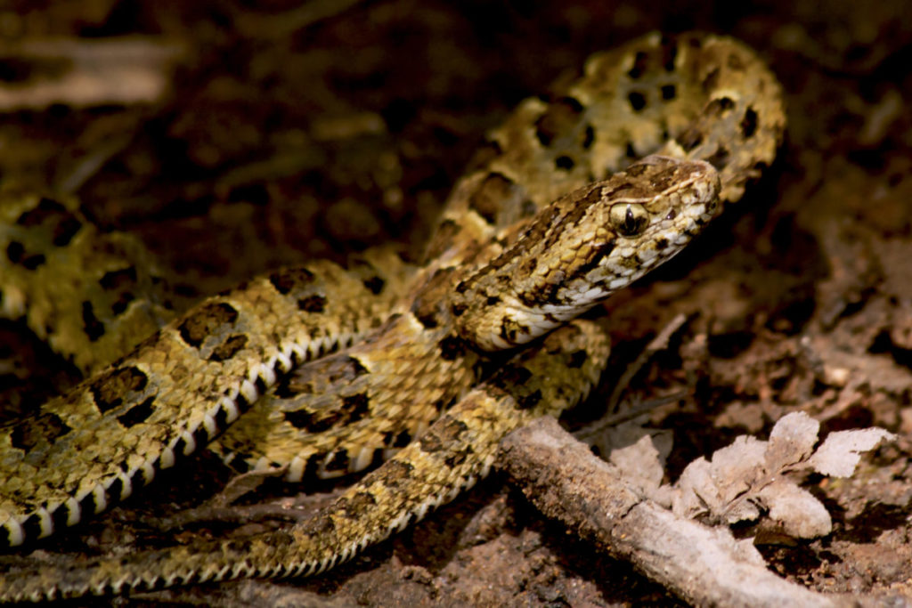 La serpiente Bothrops sonene es la nueva especie que científicos de FZS Perú y Sernanp Oficial encontraron en Pampas del Heath, en la selva del PN Bahuaja Sonene. Foto: Roy Santa Cruz.
