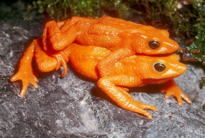 La rana escarlata de los bosques nublados de los Andes de Venezuela no ha sido vista desde 1990. Foto: Enrique La Marca.