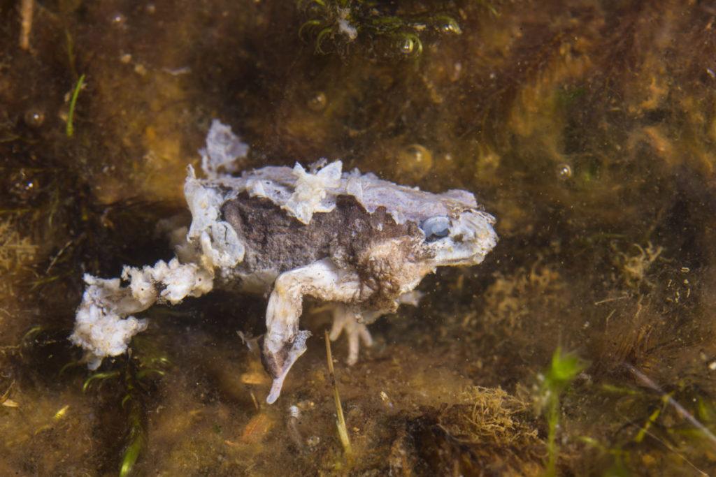 La población de 500 especies de anfibios se han reducido o desaparecido a consecuencia de un hongo. Foto: Alessandro Catenazzi.