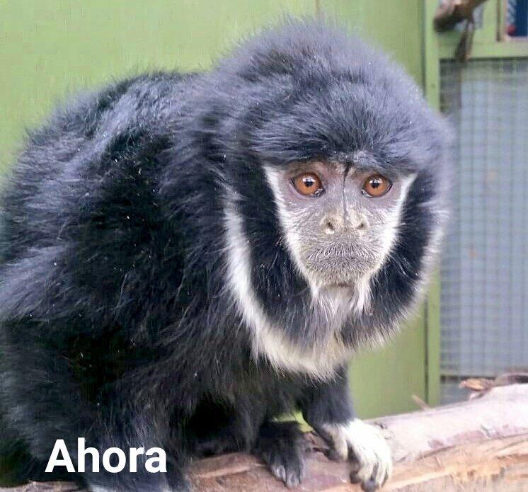 Tití de Collar (Cheracebus torquatus), ahora. Foto: Instituto Distrital de Protección y Bienestar Animal.