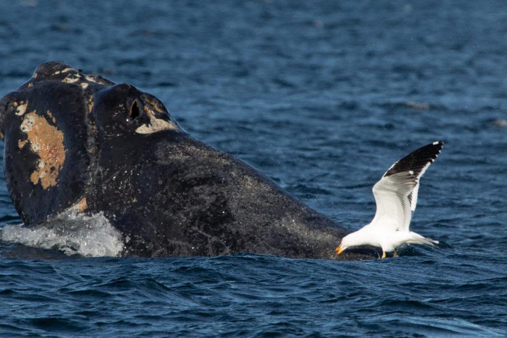 Gaviota atacando a una ballena. Foto: Lisandro Crespo