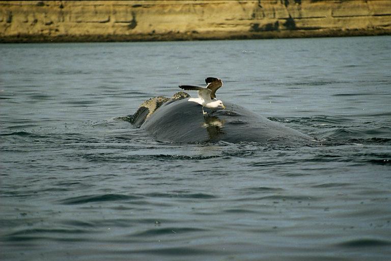 Gaviota atacando la espalda de una ballena. Foto: Alejandro Fernández