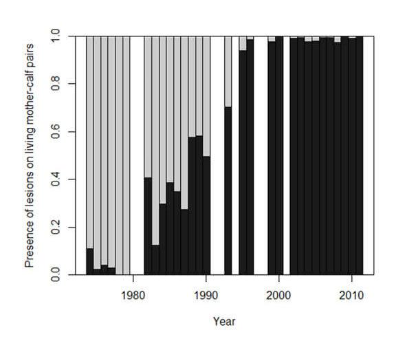 Presencia de lesiones en madres y crías vivas entre 1974 y 2011: la proporción de ballenas con lesiones (barras gris oscuro) aumentó de manera significativa a lo largo del tiempo (Marón et al., 2015).