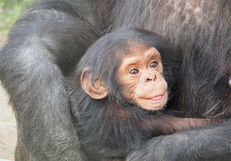 En Sierra Leona, una tropa de chimpancés fue entrenada para dar gritos de alarma en conjunto cada vez que los cazadores furtivos se acercan, alertando a los guardaparques cercanos para que acudan al rescate. Foto en Visual Hunt