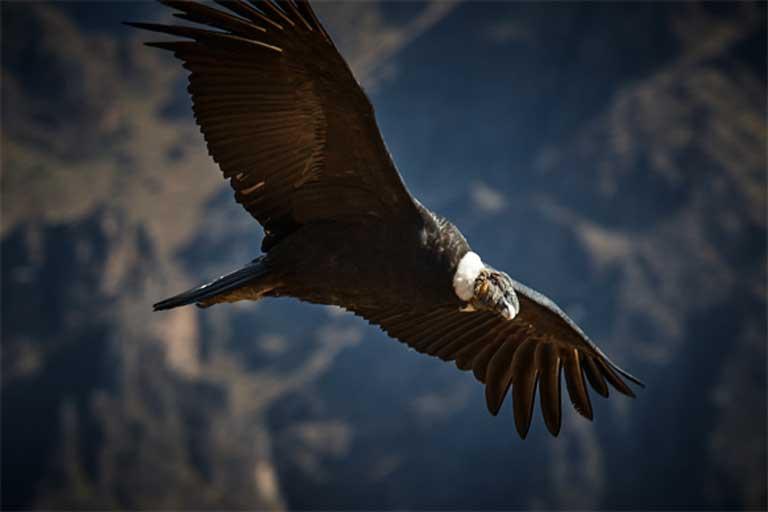 Un cóndor en vuelo. Los entrenadores de animales ayudaron a los investigadores a enseñarle a los cóndores criados en cautiverio a actuar más como cóndores salvajes. Crédito de la foto: szeke en Visual Hunt