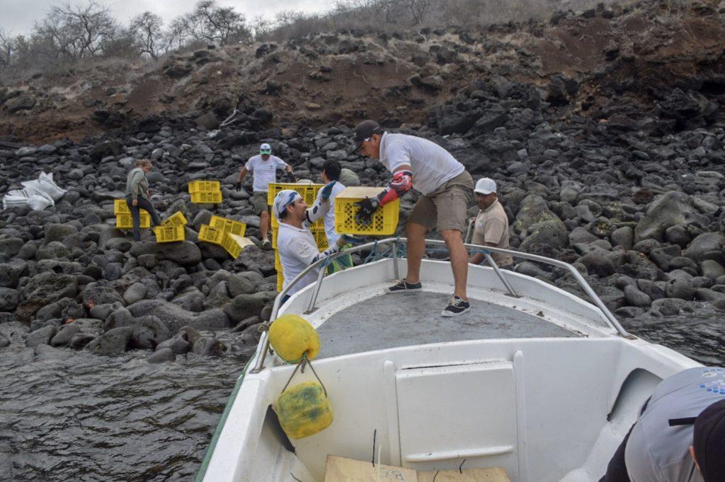 Se liberaron 2136 iguanas en la isla Santiago. Foto: Parque Nacional Galápagos.