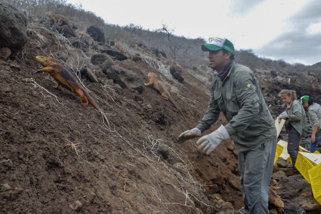 Las iguanas macho ya han empezado a construir madrigueras. Foto: Parque Nacional Galápagos.