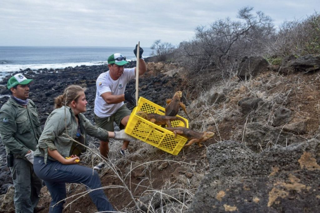 Liberación de iguanas en la isla Santiago del Archipiélago de Galápagos. Foto de Parque Nacional Galápagos.