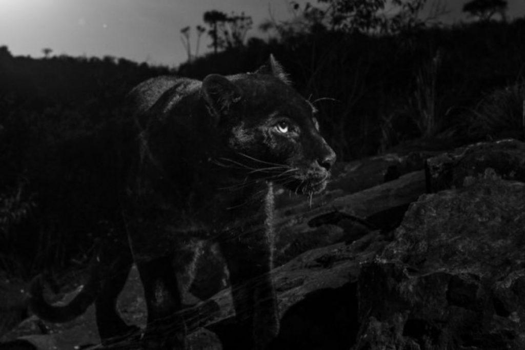 Los leopardos negros se asocian generalmente con bosques densos donde su coloración puede ofrecer camuflaje. La mayoría de los avistamientos registrados de leopardos negros han sido en bosques asiáticos. Foto con cámara trampa de Camtraptions es cortesía de Will Burrard-Lucas