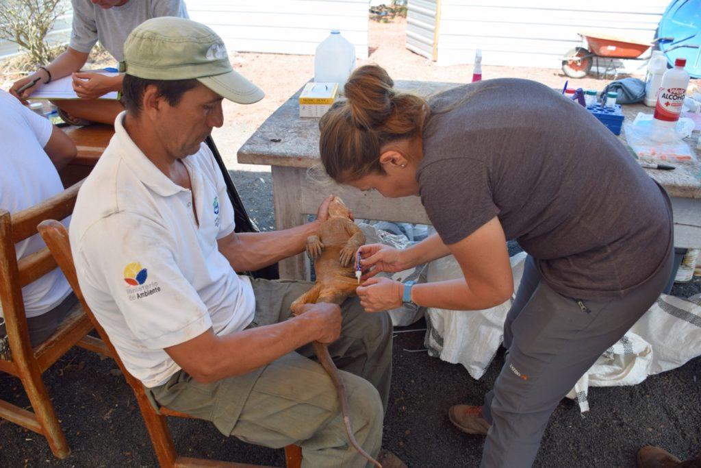Cada una de las 2136 iguanas que se liberaron en la isla Santiago tiene un microchip para hacerle seguimiento. Foto: Parque Nacional Galápagos.