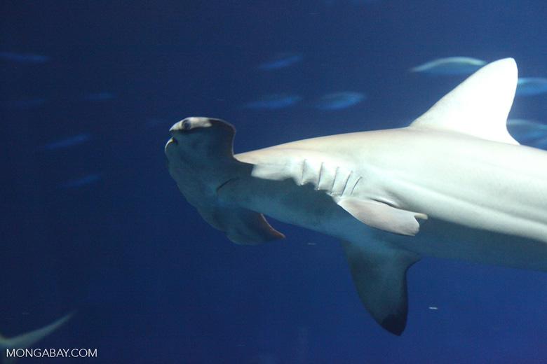 Tiburón martillo. Foto: Rhett A. Butler / Mongabay
