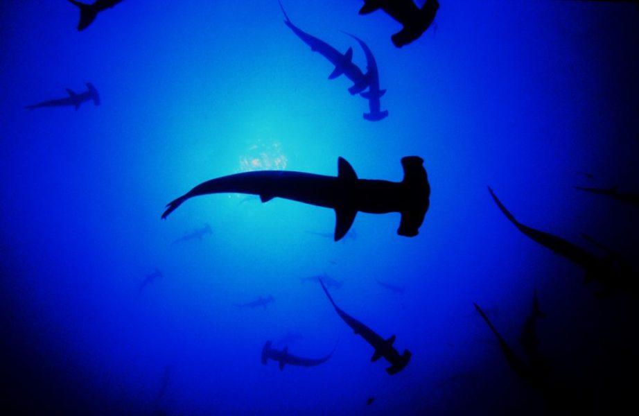 La veda establecida para la pesca de tiburón martillo podría mejorarse si es que se tomara en cuenta el conocimiento que los pescadores tienen acerca de la distribución de los juveniles. Foto: Oceana
