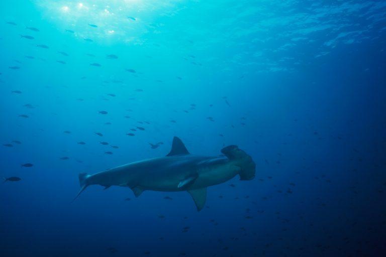 En el Perú, la pesca de tiburón martillo está permitida aunque forma parte de la lista de especies Cites. Foto: Oceana