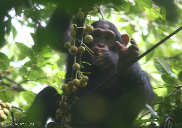 Los investigadores se sorprendieron al ver que los chimpancés adultos transmitían esta lección a sus crías. Foto: Rhett A. Butler / Mongabay