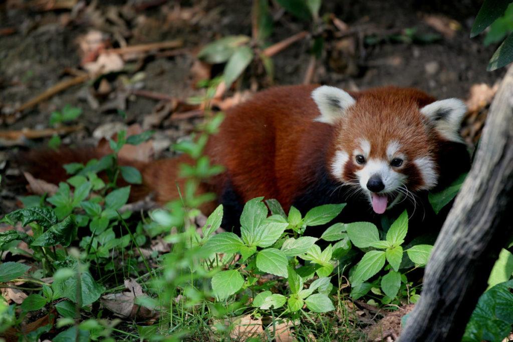 El panda rojo (Ailurus fulgens) ocupa una de las ramas más precarias del árbol de la vida de los mamíferos. Si se extingue, perderemos 31 millones de años de historia evolutiva de los mamíferos. Foto cortesía de los bienes comunes de Wikimedia