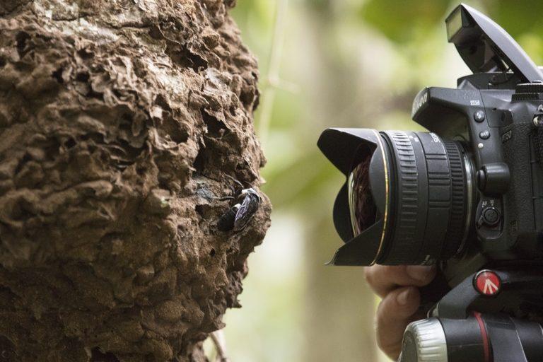 Clay Bolt fotografía una abeja gigante de Wallace viva en su nido, que se encuentra en los montículos de termitas en el norte de Maluku, Indonesia. Imagen de Clay Bolt